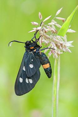 Nine-spotted moth (Syntomis phegea) Peerdsbos, Brasschaat, Belgium, June  -  Bernard Castelein/ npl