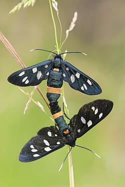 Nine-spotted moths (Syntomis phegea) mating, Peerdsbos, Brasschaat, Belgium, June  -  Bernard Castelein/ npl