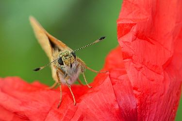 Large skipper (Ochlodes venatus) on Poppy (Papaver rhoeas) Peerdsbos, Brasschaat, Belgium, July  -  Bernard Castelein/ npl