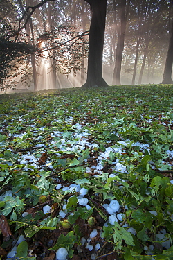 Rays of sunlight through mixed Beech (Fagus sp), Oak (Quercus sp) forest after heavy downpour of hail, Peerdsbos, Brasschaat, Belgium, June 2014  -  Bernard Castelein/ npl