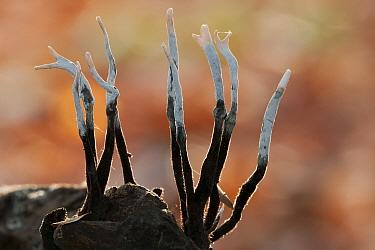 Candlesnuff fungus (Xylaria hypoxylon) Peerdsbos, Brasschaat, Belgium, October  -  Bernard Castelein/ npl
