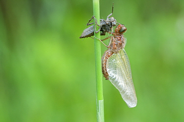 Newly emerged Scarce chaser (Libellula fulva) with shed exoskeleton, Antwerp, Belgium, April  -  Bernard Castelein/ npl
