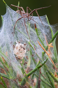 Nursery-web spider (Pisaura mirabilis) female guarding nest with young spiders inside, Groot Schietveld, Wuustwezel Belgium, July  -  Bernard Castelein/ npl