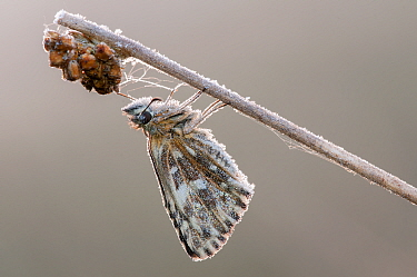Grizzled skipper (Pyrgus malvae) covered with hoar frost, Klein Schietveld, Brasschaat, Belgium, May  -  Bernard Castelein/ npl