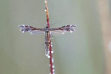 European sundew moth (Buckleria paludum) Klein Schietveld, Brasschaat, Belgium, July  -  Bernard Castelein/ npl