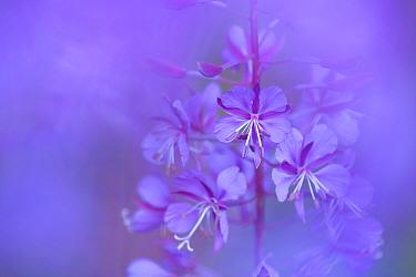 Fireweed, Rosebay willowherb (Chamerion angustifolium), Klein Schietveld, Brasschaat, Belgium, July  -  Bernard Castelein/ npl