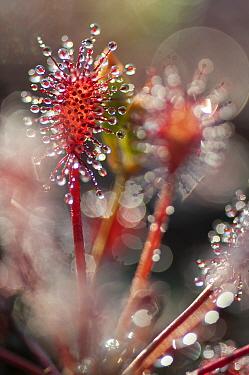 Sundew (Drosera intermedia) tentacles with nectar glands Klein Schietveld, Brasschaat, Belgium, August  -  Bernard Castelein/ npl