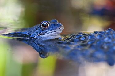 Common frog (Rana temporaria) in water with spawn, Brasschaat, Belgium, March  -  Bernard Castelein/ npl