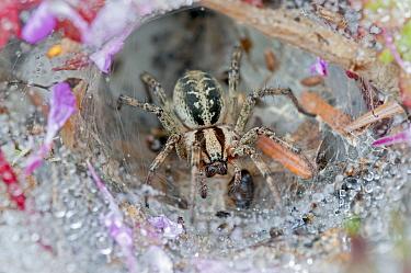Funnel-web spider (Agelena labyrinthica) in web, Brasschaat, Belgium, July  -  Bernard Castelein/ npl