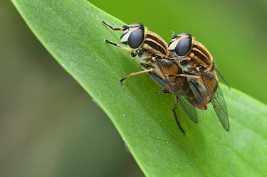 Hoverflies (Helophilus pendulus) mating, Brasschaat, Belgium, May  -  Bernard Castelein/ npl