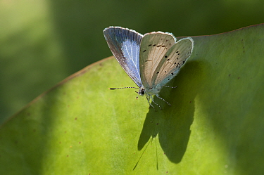 Holly blue (Celastrina argiolus) resting on leaf, Brasschaat, Belgium, June  -  Bernard Castelein/ npl