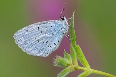 Holly blue (Celastrina argiolus) Brasschaat, Belgium, July  -  Bernard Castelein/ npl
