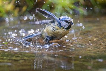 Blue tit (Parus caeruleus) bathing, Brasschaat, Belgium, May  -  Bernard Castelein/ npl