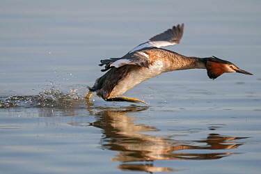 Great crested grebe (Podiceps cristatus) running on water, defending territory Antwerp, Belgium, April  -  Bernard Castelein/ npl