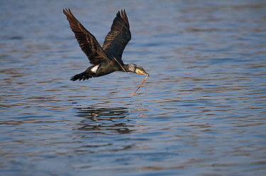 Great cormorant (Phalacrocorax carbo) in flight with nesting material, Antwerp, Belgium, March  -  Bernard Castelein/ npl