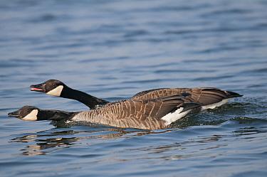 Canada geese (Branta canadensis) defending territory, Antwerp, Belgium, March  -  Bernard Castelein/ npl
