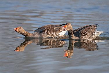Greylag geese (Anser anser) defending territory, Antwerp, Belgium, March  -  Bernard Castelein/ npl