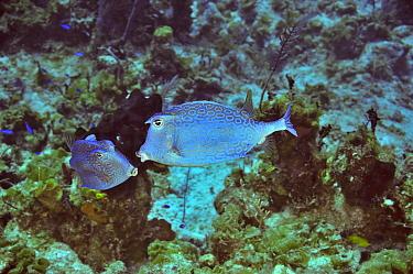 Two Honeycomb cowfish (Acanthostracion polygonius, polygonia) courting, San Salvador Island, Colombus Island, Bahamas Caribbean  -  Pascal Kobeh/ npl
