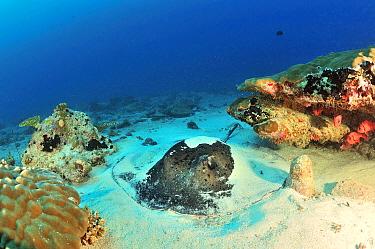 Blackspotted stingray (Taeniura meyeni) half burried in the sand, Maldives Indian Ocean  -  Pascal Kobeh/ npl