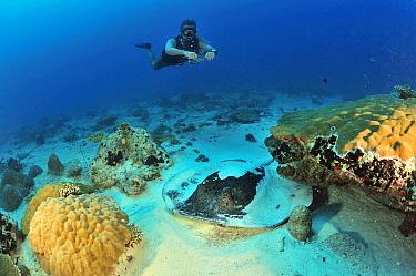 Diver swimming above Blackspotted stingray (Taeniura meyeni) Maldives Indian Ocean April 2013  -  Pascal Kobeh/ npl