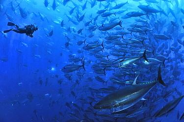 Diver with Atlantic bluefin tuna (Thunnus thynnus) within tuna farm, containing around 1000 per net Saint Pauls Bay, Malta Mediterranean Sea October 2012  -  Pascal Kobeh/ npl