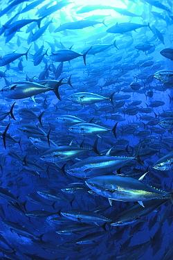 Atlantic bluefin tuna (Thunnus thynnus) within tuna farm, containing around 1000 per net Saint Pauls Bay, Malta Mediterranean Sea  -  Pascal Kobeh/ npl