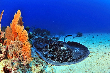Blackspotted stingray (Taeniura meyeni ) resting on sea floor, Madagascar Indian Ocean  -  Pascal Kobeh/ npl