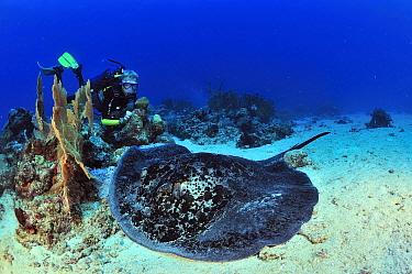 Diver and a Blackspotted stingray (Taeniura meyeni ) resting on sea floor, Madagascar Indian Ocean September 2012  -  Pascal Kobeh/ npl