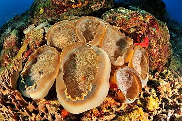Elephants ear anemones (Amplexidiscus fenestrafer) Madagascar Indian Ocean  -  Pascal Kobeh/ npl