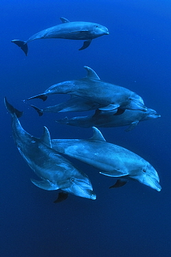 Group of Bottlenose dolphins (Tursiops truncatus) swimming, Revillagigedo islands, Mexico Pacific Ocean  -  Pascal Kobeh/ npl