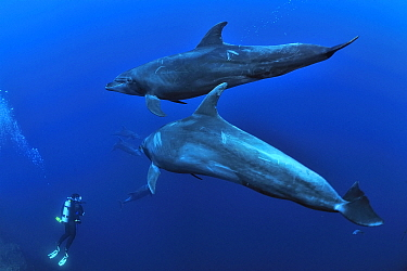 Diver with a group of bottlenose dolphins (Tursiops truncatus) swimming, Revillagigedo islands, Mexico Pacific Ocean June 2012  -  Pascal Kobeh/ npl