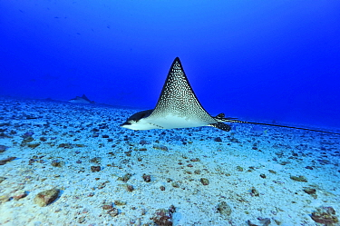 Two Eagle rays (Aetobatus narinari) swimming close to the bottom, Cocos island, Costa Rica Pacific ocean  -  Pascal Kobeh/ npl