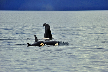 Male Orca, Killer whale (Orcinus orca) with a curved dorsal fin, and female with young calf at the surface, near coast, Alaska, USA Gulf of Alaska, Pacific ocean  -  Pascal Kobeh/ npl