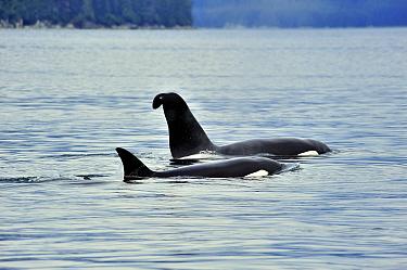Male Orca, Killer whale (Orcinus orca) with a curved dorsal fin, and female at the surface, near coast, Alaska, USA Gulf of Alaska, Pacific ocean  -  Pascal Kobeh/ npl