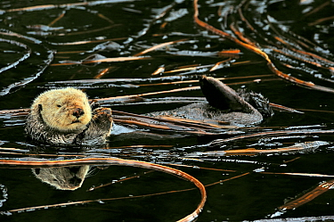 Sea otter (Enhydra lutris) floating on its back at surface among kelp, Alaska, USA Gulf of Alaska, Pacific ocean  -  Pascal Kobeh/ npl