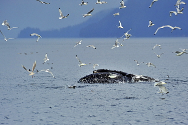 Humpback whale (Megaptera novaeangliae) breaching the surface whilst feeding, surrounded by black-legged kittiwakes (Rissa tridactyla), Alaska, USA, Gulf of Alaska Pacific ocean  -  Pascal Kobeh/ npl