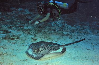 Diver swimming above Blackspotted stingray (Taeniura meyeni) Maldives Indian Ocean April 2011  -  Pascal Kobeh/ npl