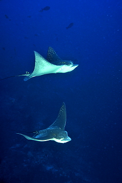 Two Eagle rays (Aetobatus narinari) swimming in open water, Maldives Indian Ocean  -  Pascal Kobeh/ npl