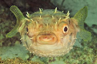 Close-up of Shortspine porcupinefish (Diodon holacanthus), coast of Dhofar and Hallaniyat islands, Oman Arabian Sea  -  Pascal Kobeh/ npl