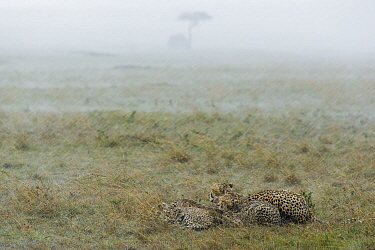 Cheetah (Acinonyx jubatus) female with cubs in heavy rain, Masai-Mara game reserve, Kenya  -  Denis Huot/ npl