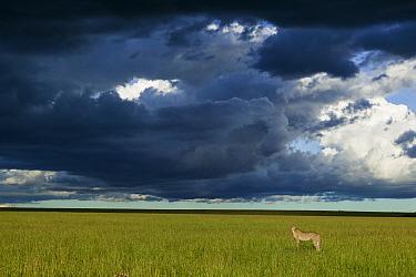 Cheetah (Acinonyx jubatus) female standing below dark storm clouds, Masai-Mara game reserve, Kenya  -  Denis Huot/ npl