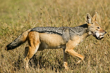 Black-backed jackal (Canis mesomelas) carrying the head of a Thomsons gazelle (Eudorcas thomsonii) Masai-Mara game reserve, Kenya  -  Denis Huot/ npl