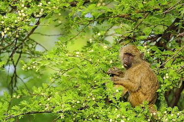 Olive baboon (Papio anubis) feeding in Acacia tree after the rains, Meru National Park, Kenya  -  Denis Huot/ npl
