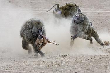 Olive baboon (Papio anubis) males fighting over newborn Thomsons gazelle (Eudorcas thomsonii) prey, Masai-Mara game reserve, Kenya  -  Denis Huot/ npl