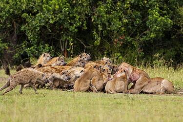Spotted hyaena (Crocuta crocuta) pack challenging Lionesses (Panthera leo) for kill, Masai-Mara game reserve, Kenya  -  Denis Huot/ npl