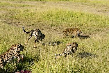 Juvenile Cheetahs (Acinonyx jubatus) chasing Spotted hyaena (Crocuta crocuta) away from kill, Masai-Mara game reserve, Kenya  -  Denis Huot/ npl