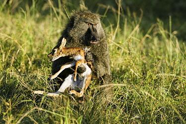 Olive baboon (Papio anubis) male holding newborn Thomsons gazelle (Eudorcas thomsonii) prey, Masai-Mara game reserve, Kenya  -  Denis Huot/ npl