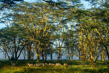 Grants zebra (Equus quagga boehmi) herd under Yellow-fever acacia trees (Acacia xanthophloea) Nakuru National Park, Kenya  -  Denis Huot/ npl