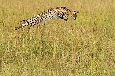 Serval (Leptailurus serval) pouncing, Masai-Mara game reserve, Kenya  -  Denis Huot/ npl