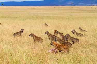 Spotted hyaenas (Crocuta crocuta) pack with kill stolen from Lions, Masai-Mara game reserve, Kenya  -  Denis Huot/ npl